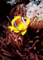 Anemone Fish in a Red Anemone, Jackson Reef, Strait of Tiran by Erich Reboucas 